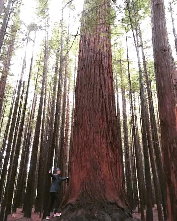 赤松の森。.大きなもので75mもあるというRedwood Forest。空気は澄んでいて、マイナスイオンで満ちているイメージ(^-^).屋久島みたいな雰囲気もありますが、真っ直ぐと伸びた木々たちは、また違った趣きでした♪.ウォーキングの後半は、シダ植物にどハマり(笑)。大小たくさんの種類があって、写真を撮りまくりました♡#夏休み2019 #redwoodforest #rotorua #newzealand #ニュージーランド